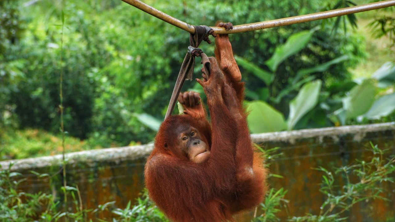 Orangutan Hanging Animal Themes Mammal Animal Wildlife Monkey Animals In The Wild Focus On Foreground No People Day Outdoors Nature Tree Close-up Sumatran Orangutan