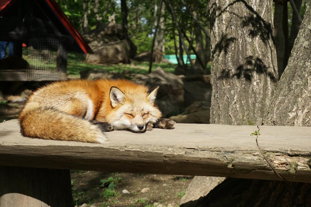 Japan Miyagi ZaoFoxVillage Fox Foxes Animals Always Be Cozy
