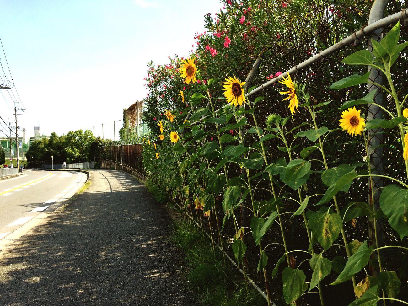 오사카 Sunflower 해바라기 ひまわり 箕面
