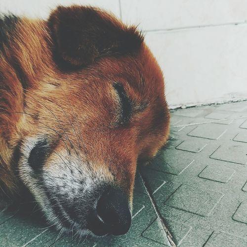 Pets Vietnamese Golden Retriever Dog