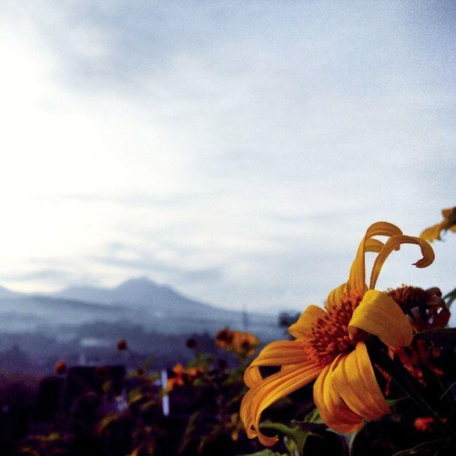 Sunflower Flower Nature Backtonature Lestarikanalam INDONESIA Bojongkoneng Cikutra Bandung Bandungtimur Lenovotography Photooftheday Photophone  Lzybstrd Pocketphotography