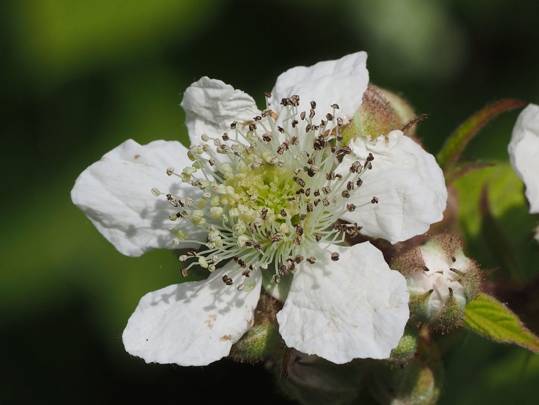 Blackberry flower Blackberry Flower Rubus Fruticosus X Idaeus Beauty In Nature Blooming Close-up Day Flower Flower Head Fragility Freshness Growth Nature No People Outdoors Petal Plant White White Color