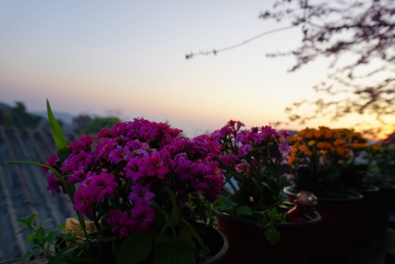 Sun Rise Morning View Flower Nature Beauty In Nature Growth Focus On Foreground Plant Freshness Fragility No People Close-up Pink Color Outdoors Sky Blooming Sunset Field Scenics Blossom Flower Head Day