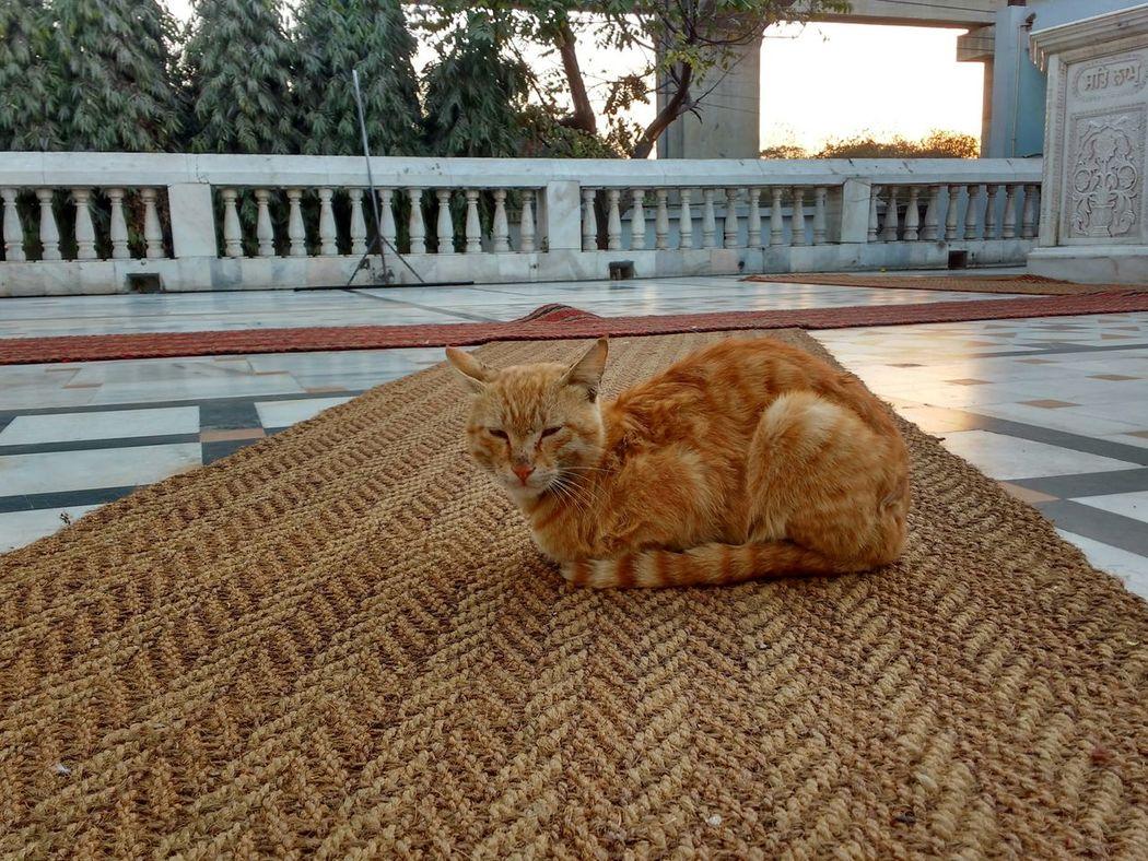 Cat Calm Gurudwara Morning Light Morning Streetphotography Street Cat