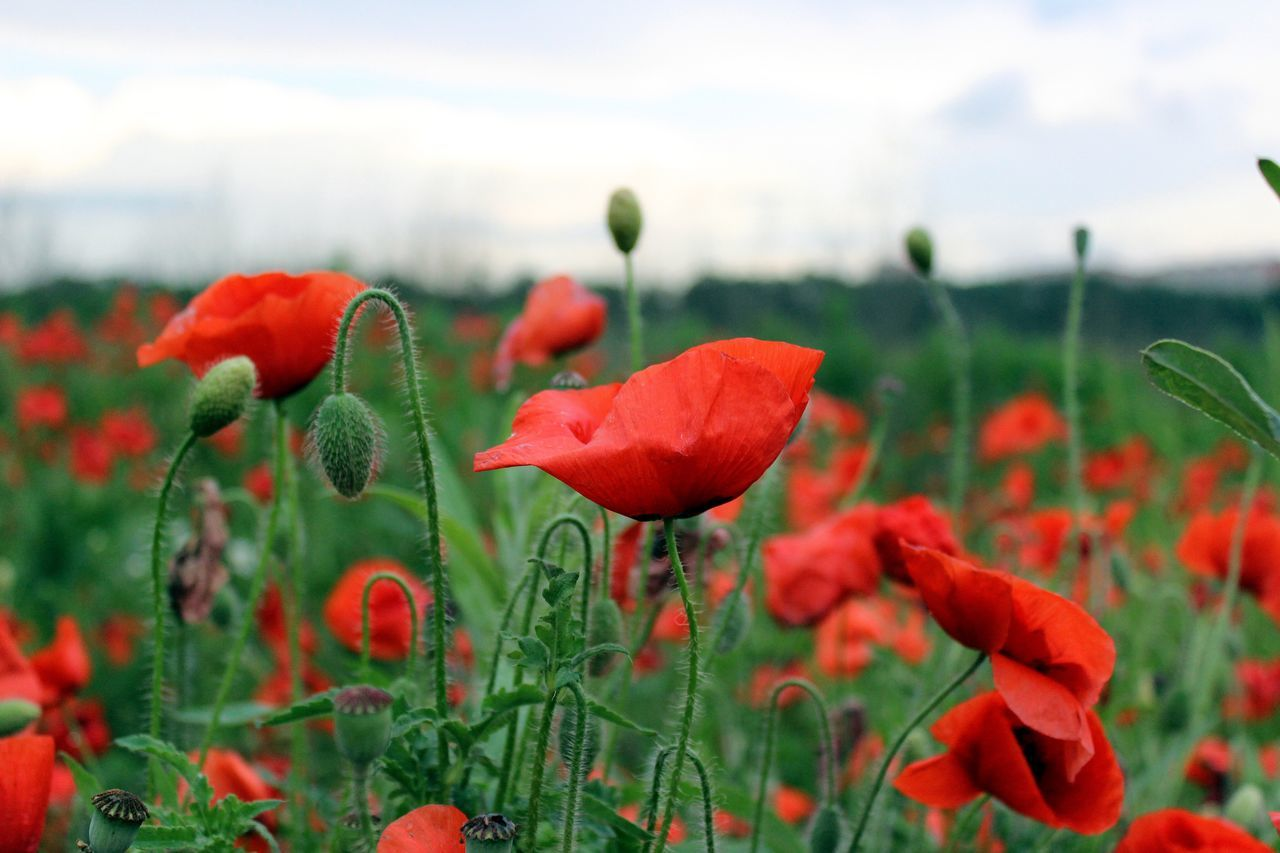 Flower Growth Beauty In Nature Plant Poppy Red Blooming Field Flower Head Close-up Outdoors Poppy Flowers Poppy Fields Poppies  Red Flowers Landscape_Collection Landscape_photography Russian Nature
