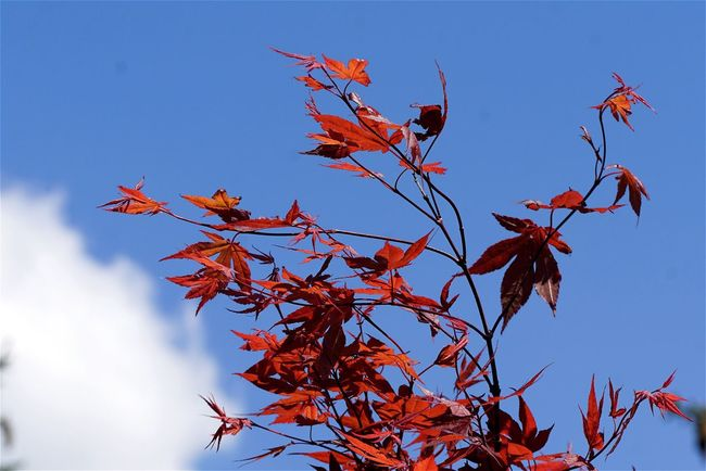 Ahorn Japanischer Ahorn Sky Cloud Clouds And Sky OpenEdit Close-up Open Edit Flowers,Plants & Garden Tadaa Community EyeEm Masterclass AMPt_community Springtime EyeEm Best Edits