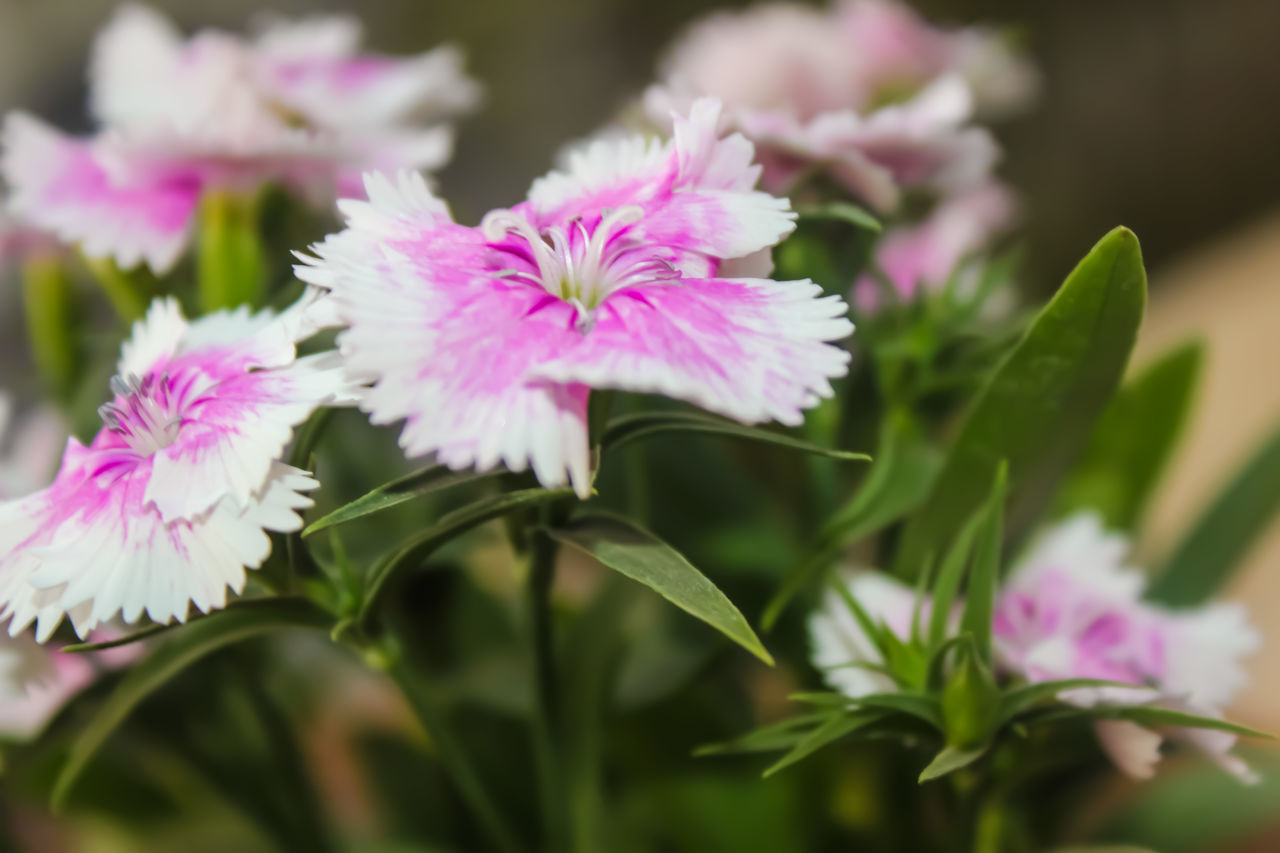 Beauty In Nature Bunch Of Flowers Bunch Of Magical Thoughts Close-up Day DSLR Flower Flower Head Fragility Freshness Greenry Growth Life Nature Nature No People Outdoors Petal Pink Color Plant White