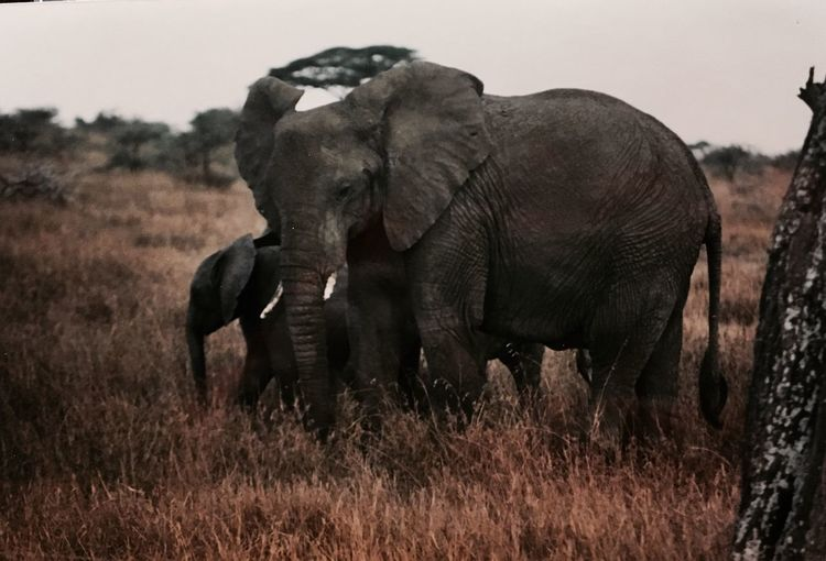 Film photography 1990s mother and baby elephant Elephant Animals In The Wild No People Africa Tanzania Kenya Wildlife