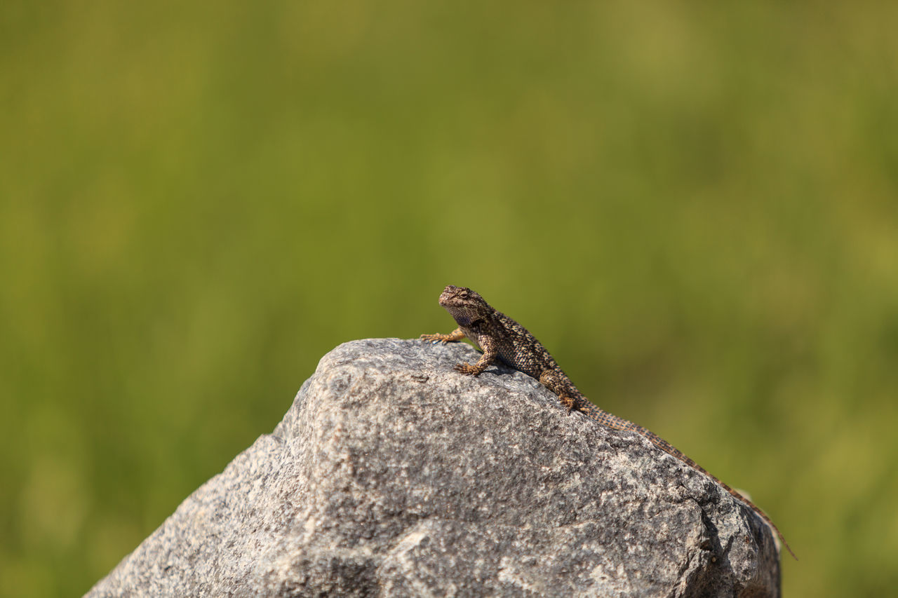 Brown common fence lizard, Sceloporus occidentalis, perches on a rock with a green background in Southern California. Animal Themes Animals In The Wild Close-up Crawling Day Fence Lizard Focus On Foreground Green Color Insect Lizard Nature No People One Animal Rugged Sceloporus Occidentalis Small Wildlife Zoology