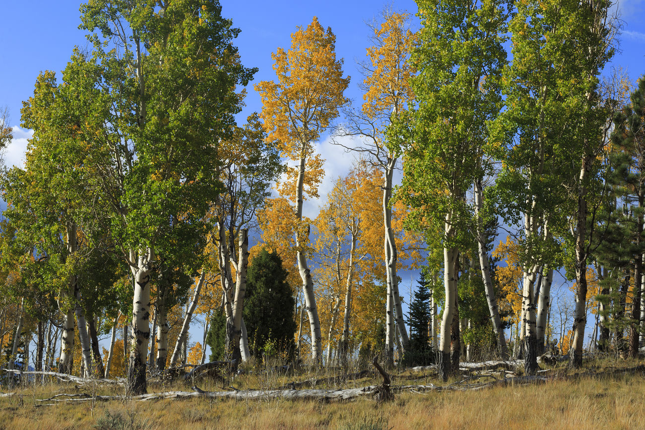 In The Forest Autumn Colors Dixie National Forest Trees Treescape Trees And Nature Trees Collection Autumn Collection Autumn Fall Beauty Fall Colors Seasons EyeEm Best Shots Canon 5d Mark Lll Canon Eye4photography  I Hope My Pictures Touch Your Hart Nature Beautiful Nature United States Utah
