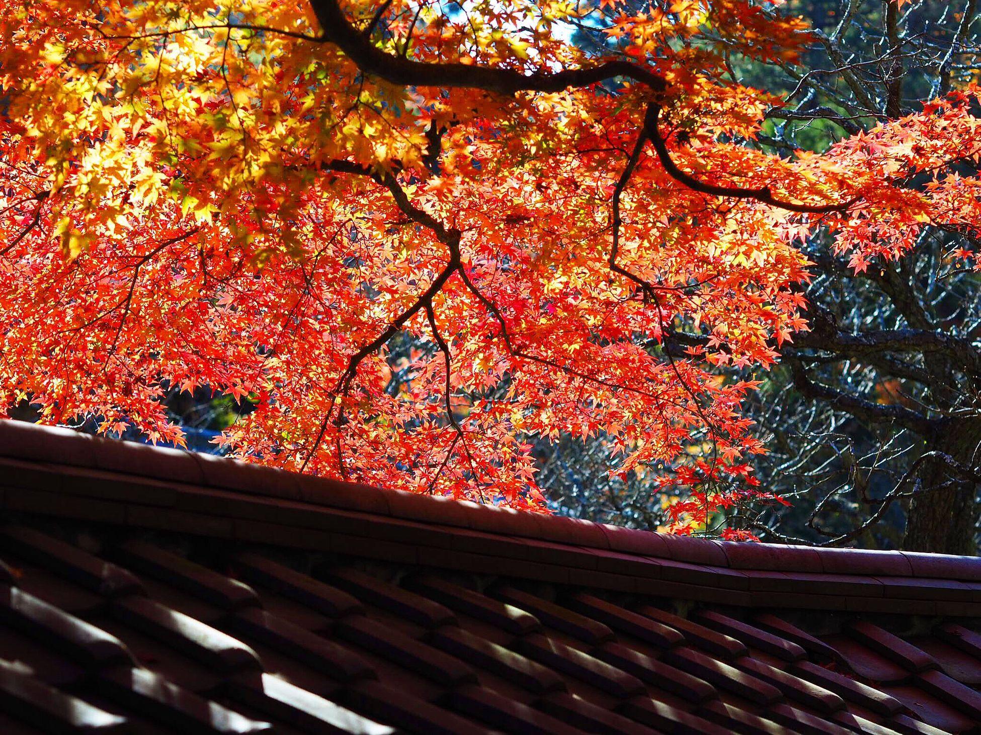 Red Tree Autumn Nature Beauty In Nature Leaf Outdoors Day Welcomeweekly Olympus Om-d E-m10 Japanese Garden Autumn Momiji Colored Leaves Kamakura Kitakamakura Kamakura Japan Good Morning Blue Sky Tokeiji Tokei Temple Tree 東慶寺