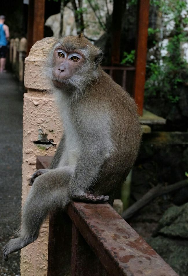 Langkawi Island Mangrove Tour Monkey