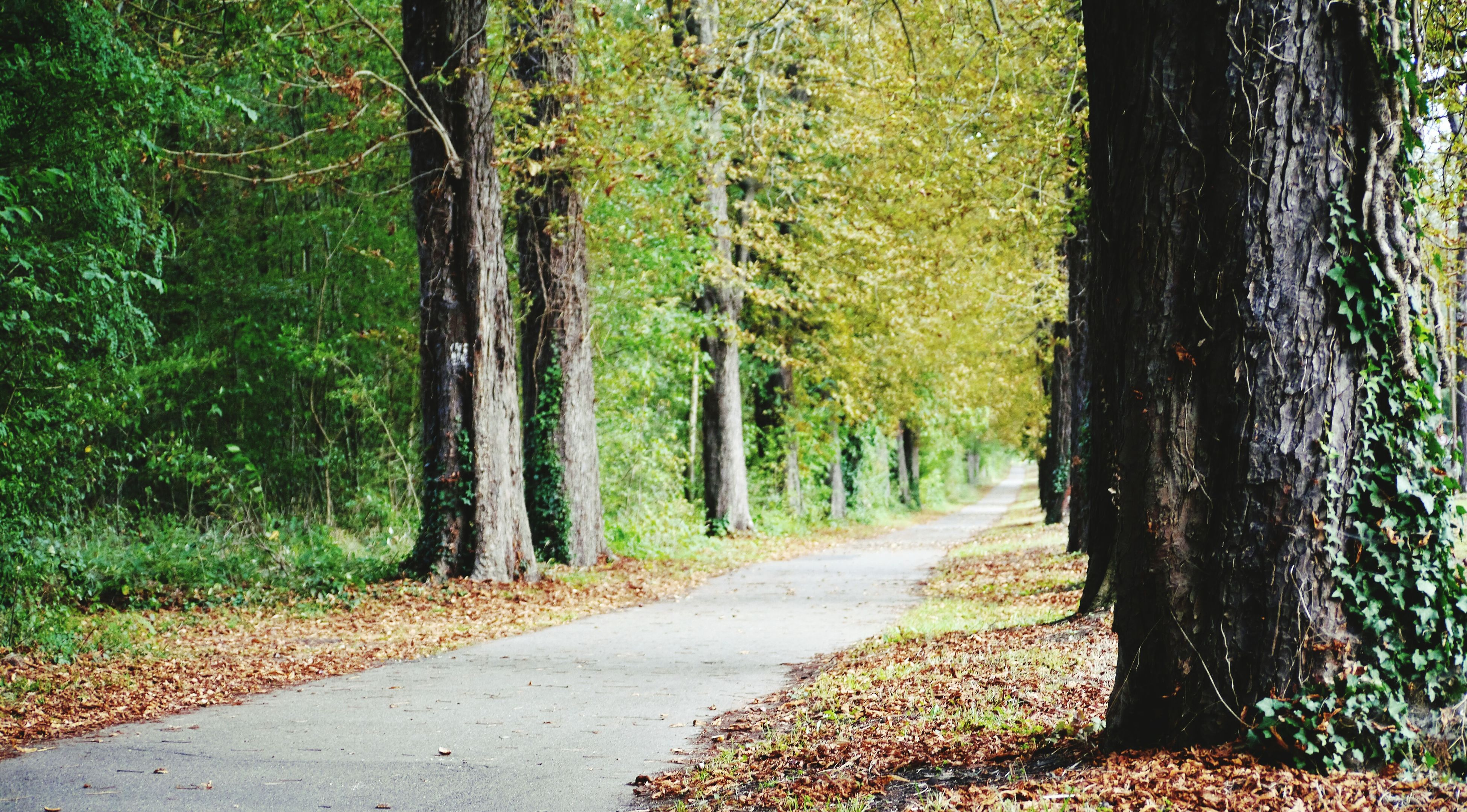 tree, tree trunk, the way forward, forest, transportation, growth, road, treelined, tranquil scene, long, green color, nature, empty road, diminishing perspective, tranquility, woodland, day, narrow, solitude, outdoors, beauty in nature, scenics, non-urban scene, lush foliage, countryside, country road, green, tree area