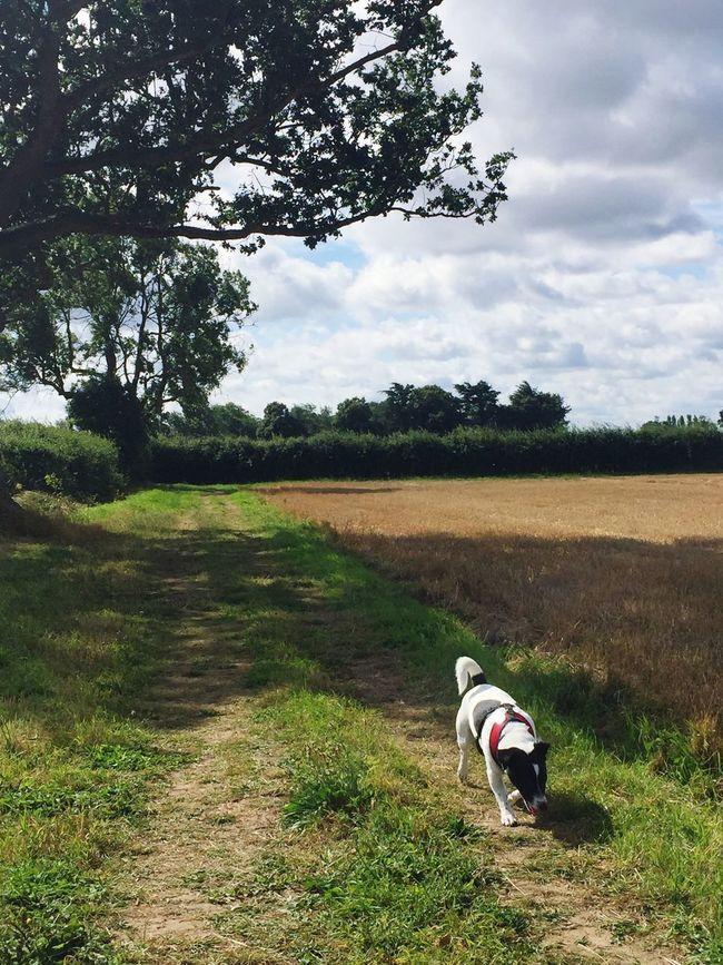 Countryside Sky Fields Jack Russell