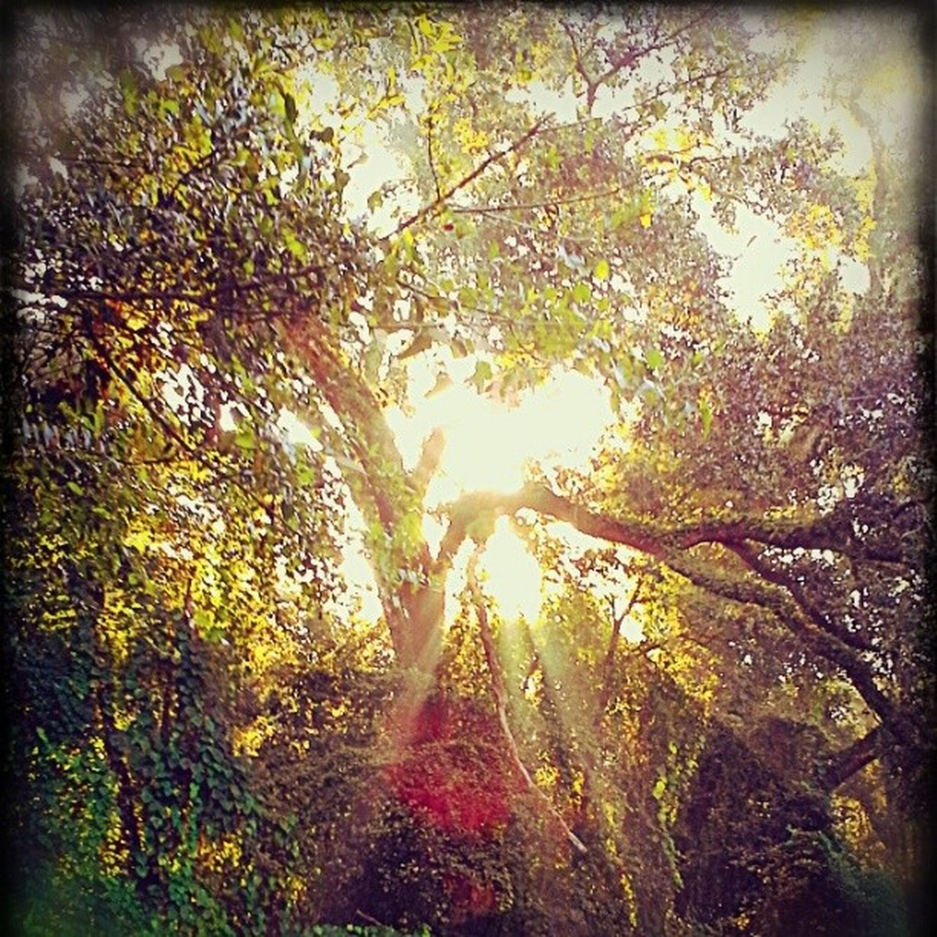 transfer print, tree, auto post production filter, sun, growth, branch, sunlight, sunbeam, nature, low angle view, tranquility, lens flare, clear sky, beauty in nature, sky, day, outdoors, leaf, scenics, no people