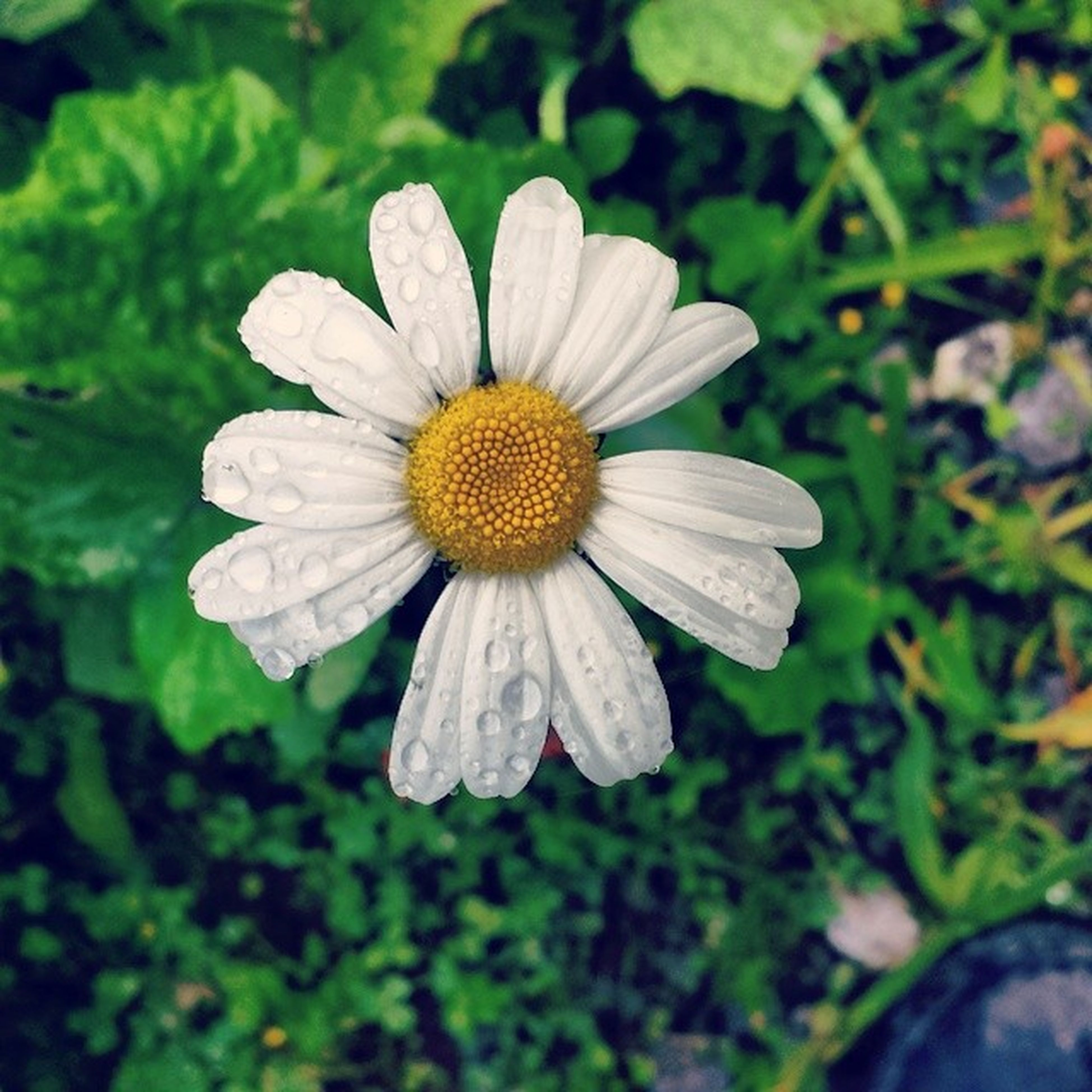flower, petal, freshness, fragility, flower head, growth, beauty in nature, close-up, pollen, blooming, single flower, focus on foreground, nature, drop, plant, water, wet, yellow, white color, in bloom