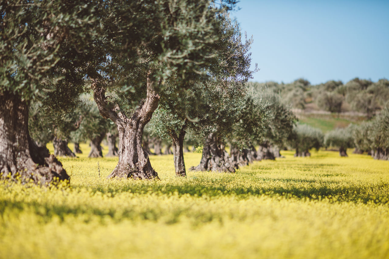 Olives Flower Nature No People Olive Outdoors Portugal Tree Yellow First Eyeem Photo