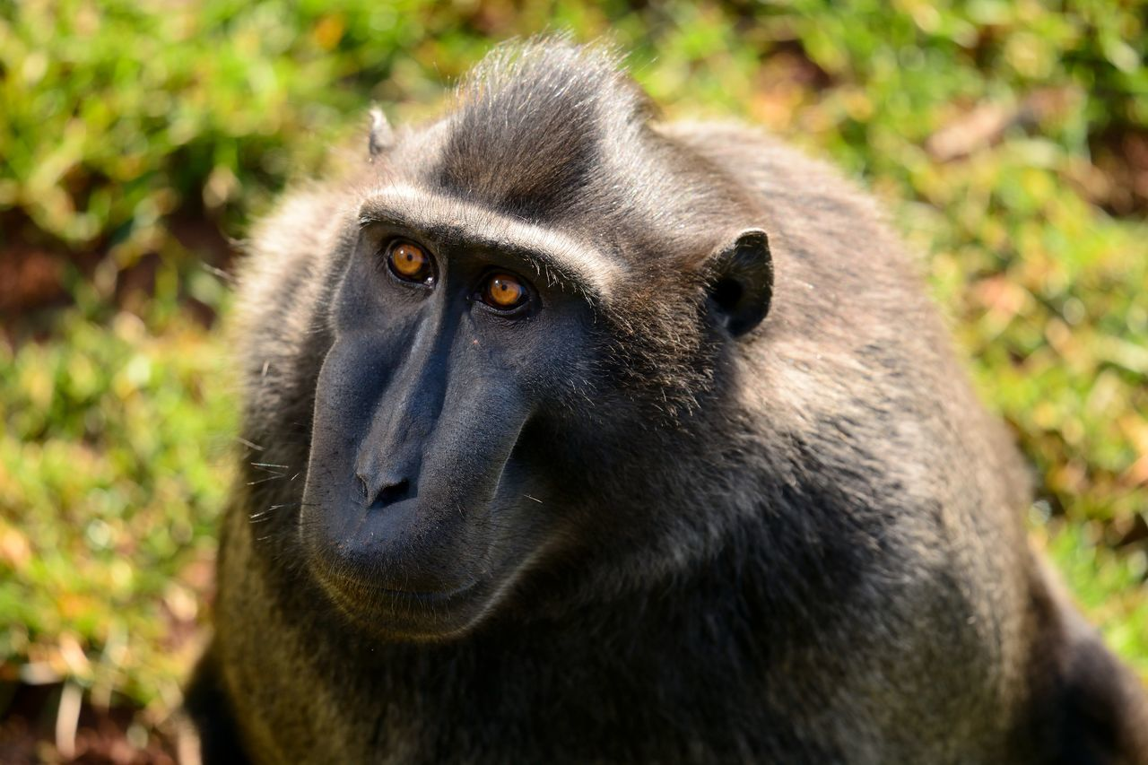 Animal Themes Animals Ape Baboon Beauty In Nature Check This Out Close-up Day Eye4photography  EyeEm Best Shots EyeEm Gallery EyeEm Nature Lover Lookingup Mammal Monkey Nature Nature Photography Nature_collection Naturelovers No People One Animal Outdoors Portrait Sitting Taking Photos