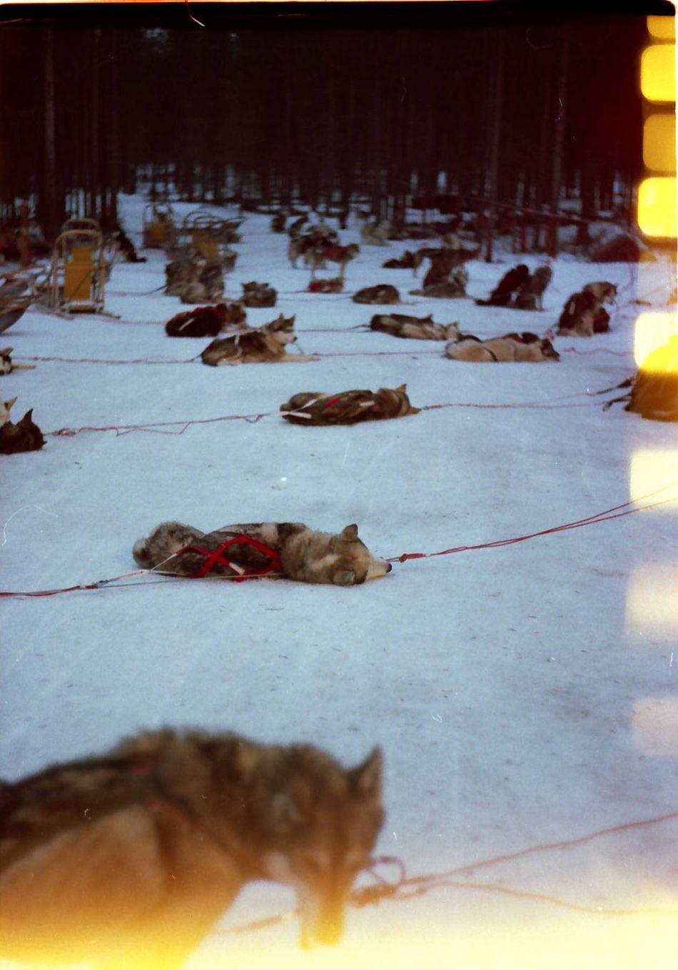 Dogs Sleeping Sleep Winter Snow Rest Sledge Dog Film Film Photography Zenit Analog Showcase: February FinlandsWinter Finland Poetic Color Photography