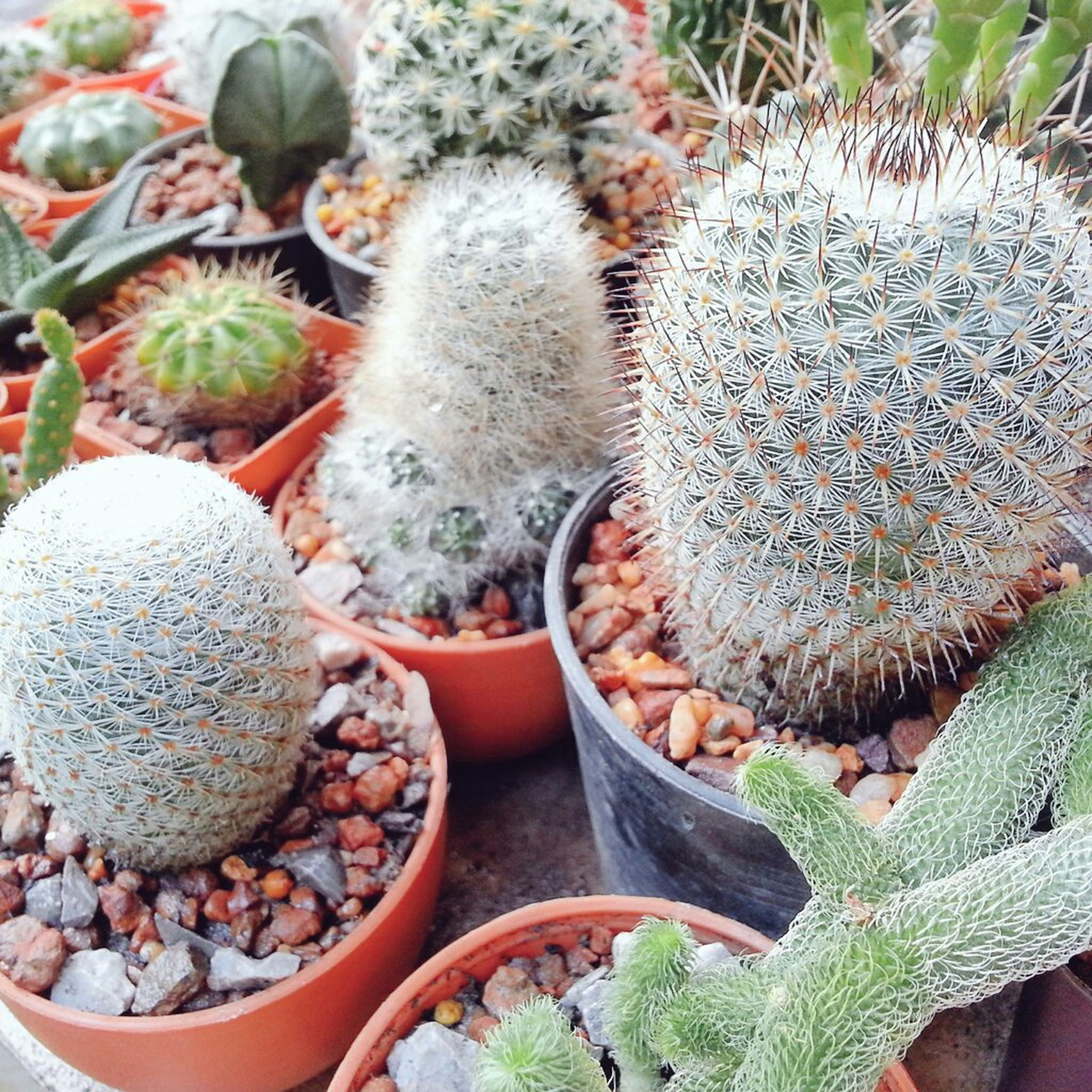 growth, plant, leaf, cactus, nature, close-up, green color, thorn, freshness, beauty in nature, growing, high angle view, outdoors, field, day, succulent plant, spiked, potted plant, no people, tranquility
