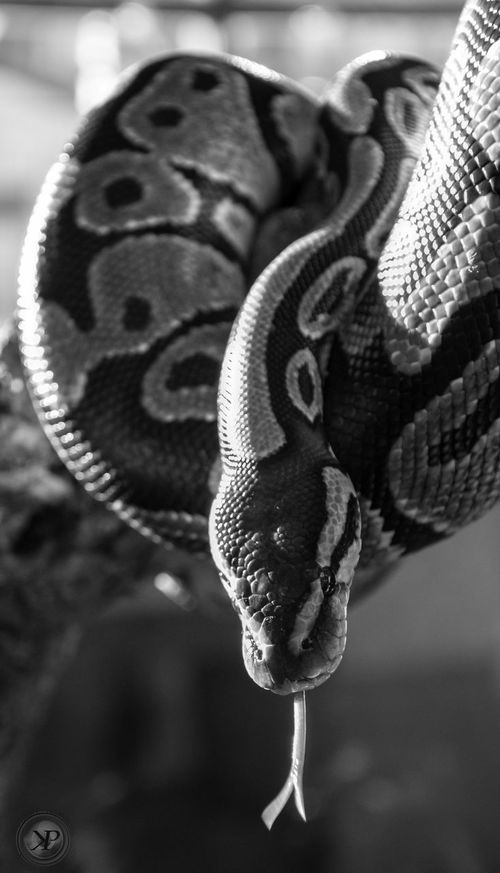 Snake Snakebites Reptile Python Pythonregius Python Royal One Animal Close-up Animal Themes Animals Reptile Photography Photooftheday Nikon Zoophotography Zoology Animallovers Nikon D3200 Tongue No People Day Animals In The Wild Outdoors Nature Mammal Sky