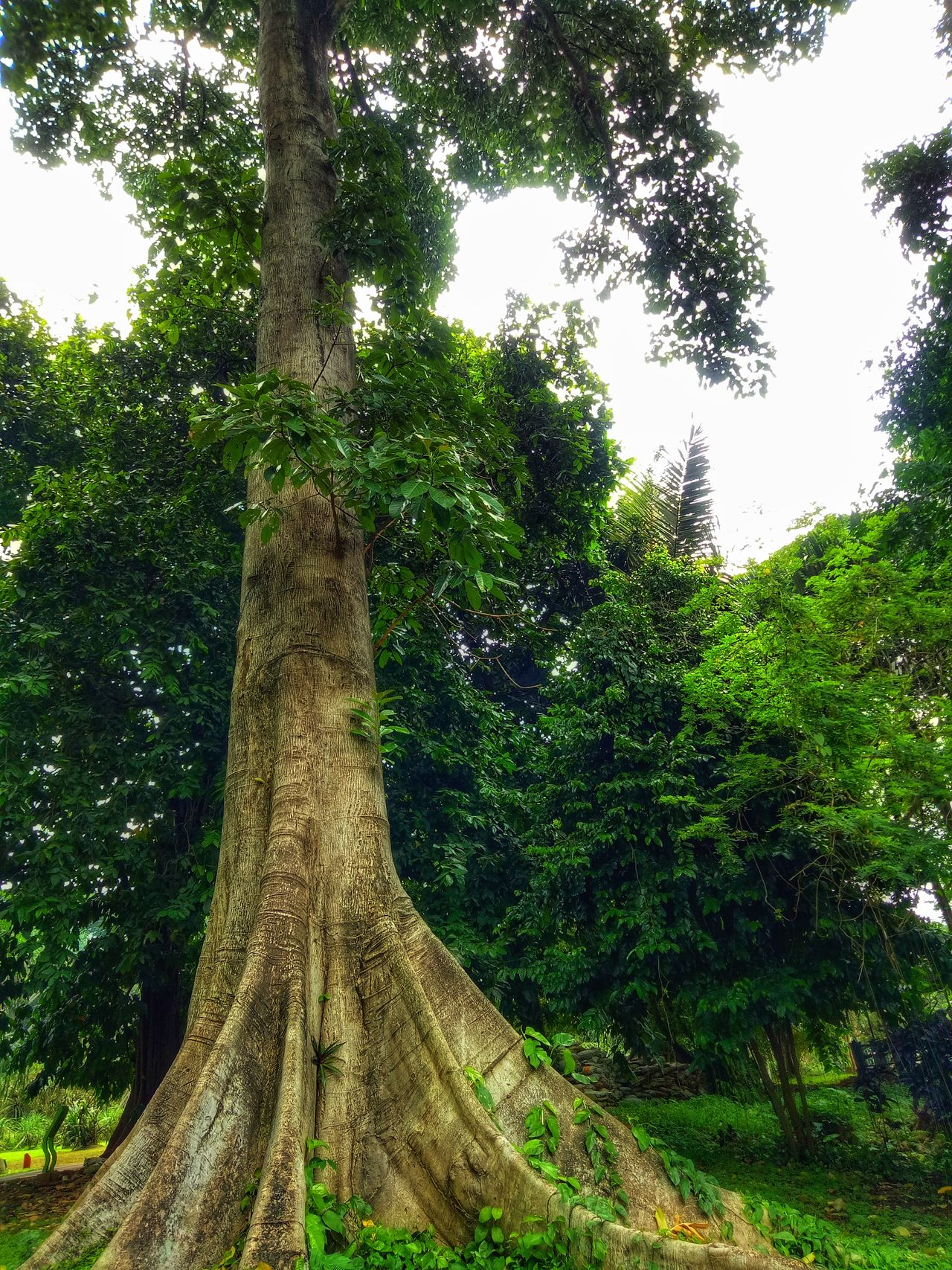 Tree Nature Low Angle View Growth No People Green Color Tree Trunk Tranquility Sky Outdoors Day Beauty In Nature Huge