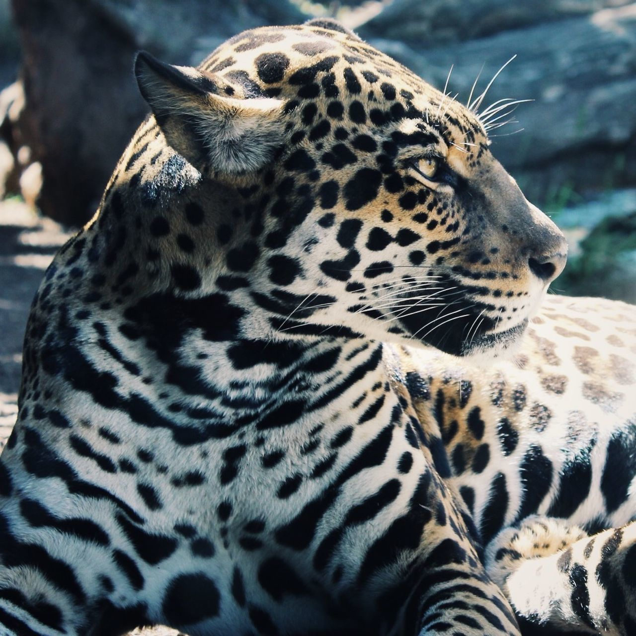 The largest species of wild cat in the Americas, the Jaguar Wildlife One Animal Animal Themes Animals In The Wild Natural Pattern Focus On Foreground Close-up Animal Markings Safari Animals Carnivora Nature Beauty In Nature Endangered Species Animals Danger