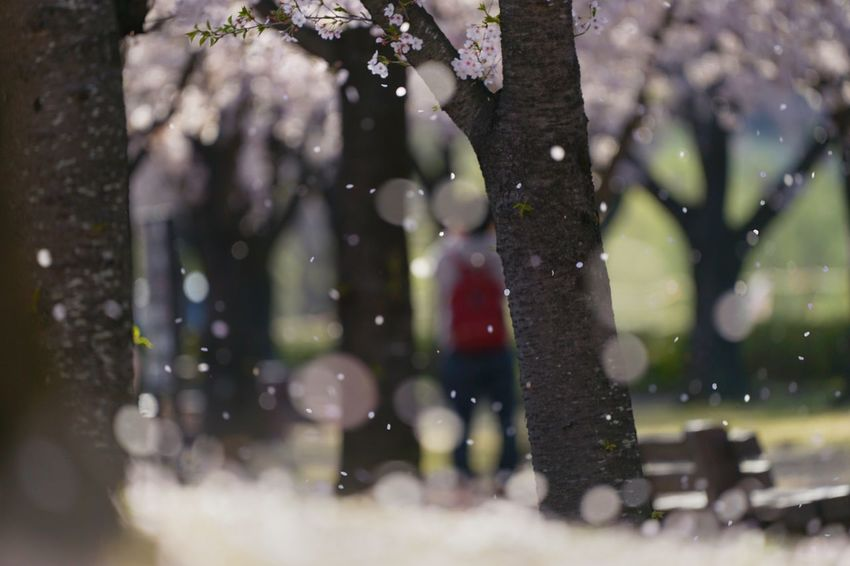 Capture The Moment Petals🌸 Fall Beauty Shower Bokeh Photography Depth Of Field Sakura Cherry Blossoms Springtime Fine Art Fantasy Fragility Nature Uzuki Of The Flower Landscapes Shine Bright Fantastic Majestic Tranquility Full Frame Detail SONY A7ii Sigma EyeEm Best Shots 17_04 Break The Mold TCPM Art Is Everywhere EyeEmNewHere The Great Outdoors - 2017 EyeEm Awards The Street Photographer - 2017 EyeEm Awards