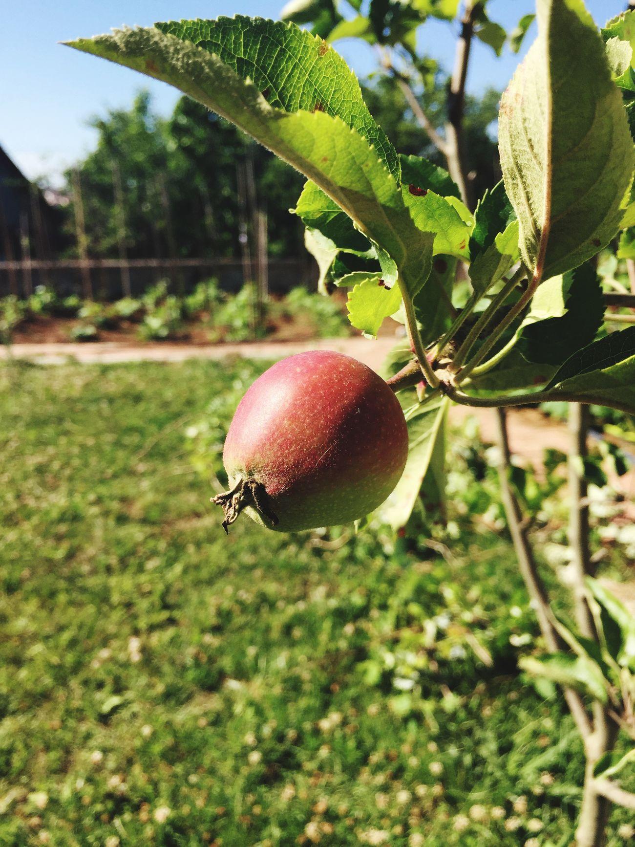 Apple Elma Garden Bahce Yavru