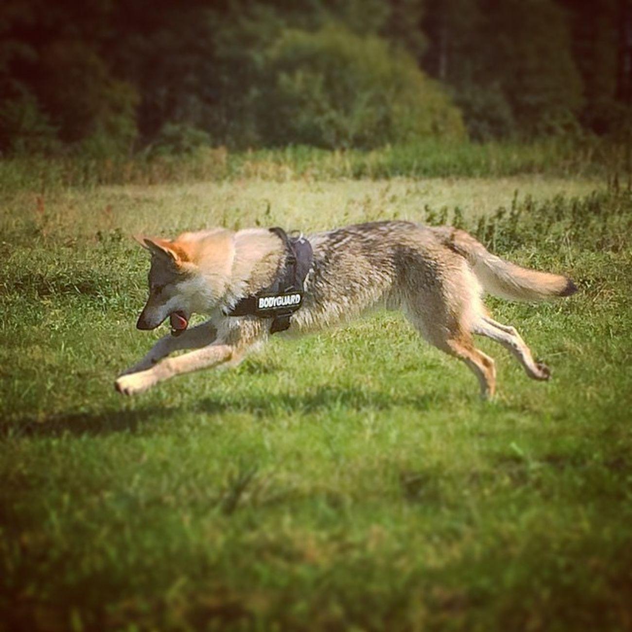??? Bodygourd Juliusk9 Wolfdog Czechwolfdog wolf dog vlcak lupo lupi loup czechoslovakianwolfdog direwolf wilczak wilkor czechoslowackiwilczak czechosłowackiwilczak vlciak wolfstagram petstagram instadog instawolf hybryd hybrid funnydog dogphotography tesoridicarli wilk ilovemydog love puppylove