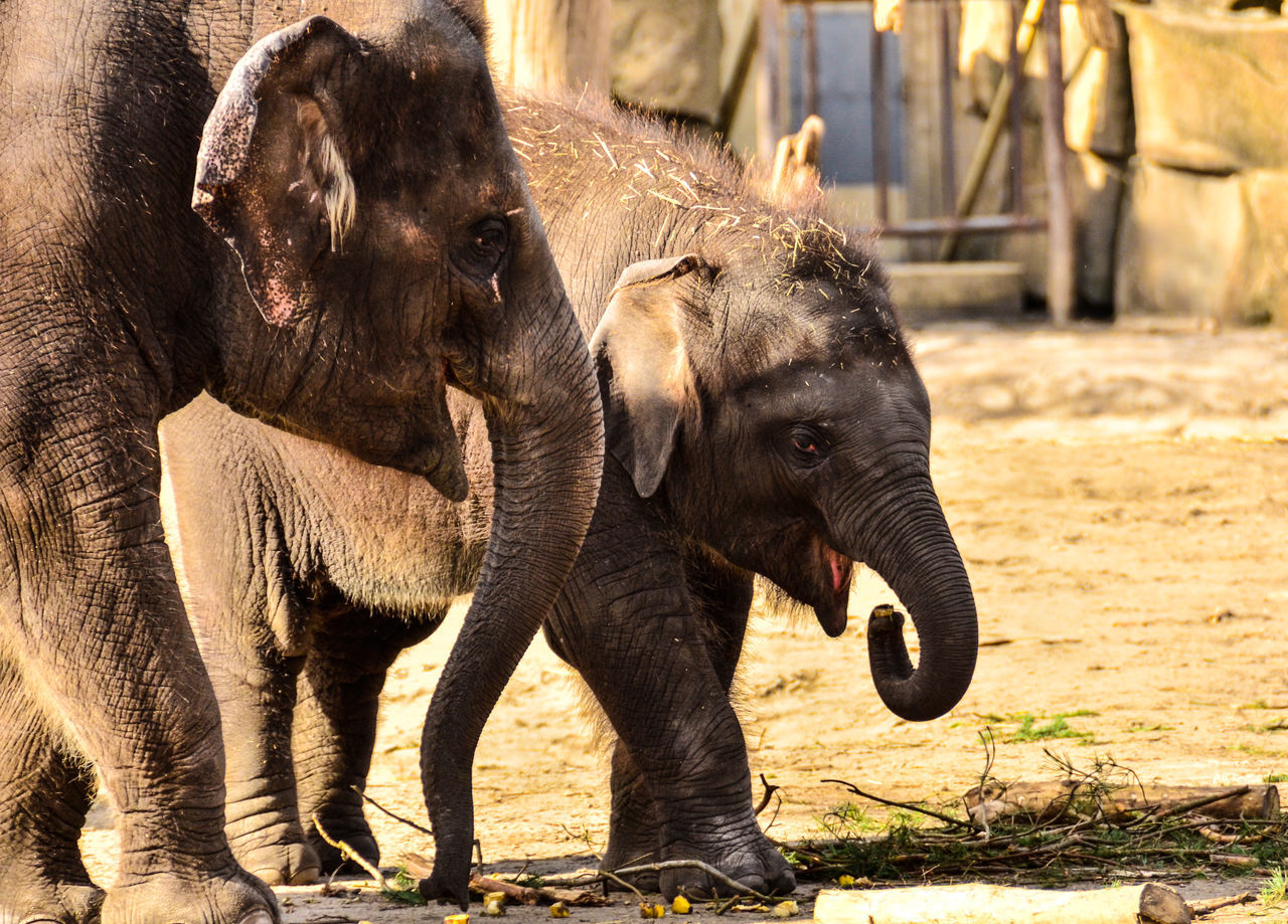 elephant, mammal, animal themes, animal trunk, young animal, elephant calf, animal wildlife, animals in the wild, safari animals, no people, african elephant, tusk, outdoors, day, domestic animals, nature