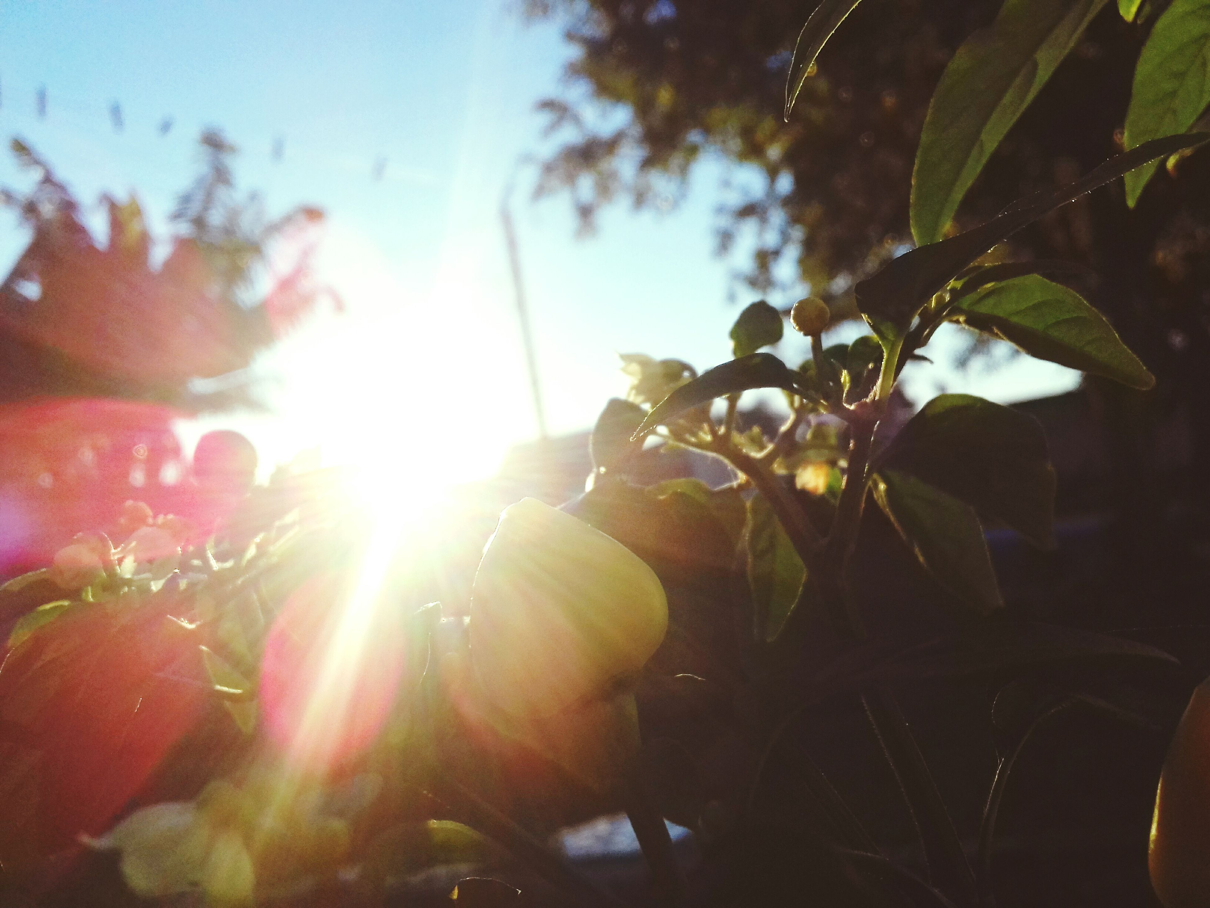 leaf, plant, sunlight, growth, sun, nature, close-up, no people, outdoors, day, tree, beauty in nature, freshness, sky