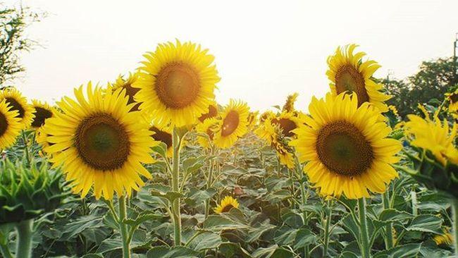 Good morning Sunflower Tree Flowers Bokeh Picture Photo CameraMan Photographer Fujifilm Fujixe1 Fujithailand Xe1 Lens Manuallens Cannon Vintagelens Canonfd50mm Canonfd50mmf1_4 50mm F1_4 50mmlens Thailand Bangkok City Leaves white amazingthailand @amazingthailand