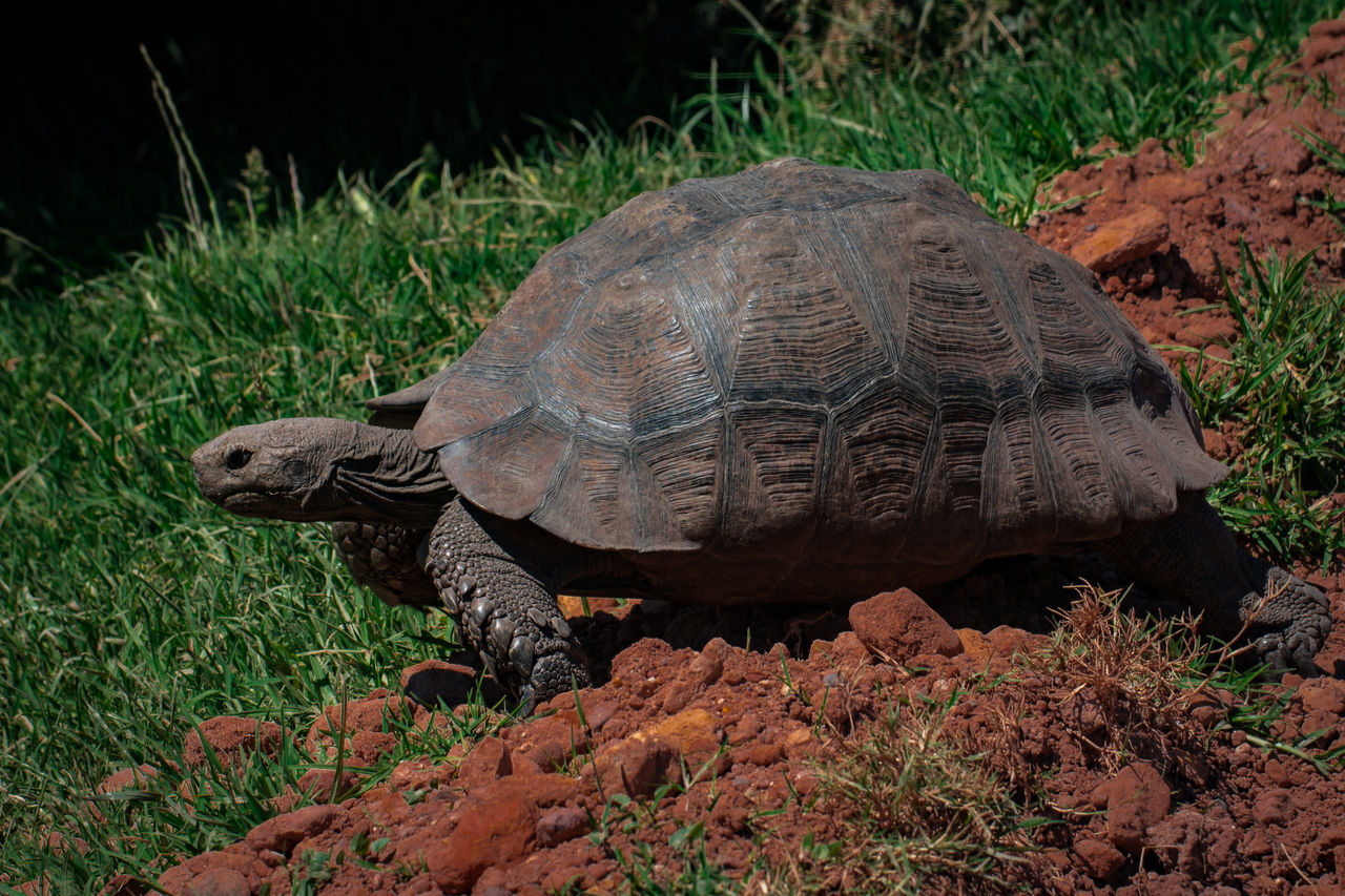 tortoise, one animal, reptile, animals in the wild, animal themes, turtle, tortoise shell, grass, nature, day, animal wildlife, no people, outdoors, plant