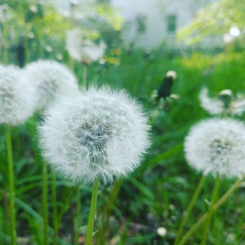 Flower Dandelion Nature Growth Fragility Uncultivated Wildflower Plant Flower Head Close-up Freshness Outdoors Tranquility Focus On Foreground Springtime Grass Beauty In Nature Day No People Seed Nature