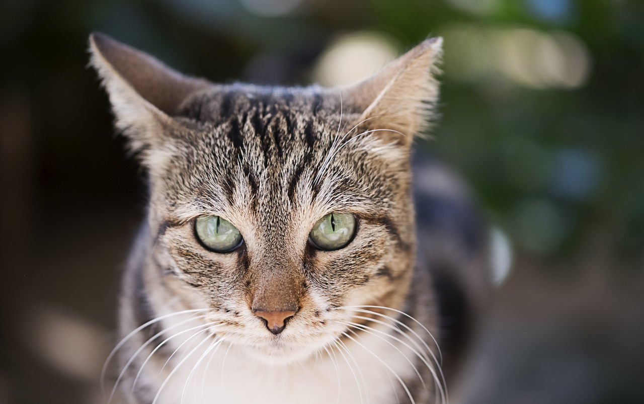 CAT TRILOGY Animal Animal Body Part Animal Eye Animal Themes Care Close-up Day Domestic Animals Domestic Cat Feline Looking At Camera Mammal No People One Animal Outdoors Pets Portrait Tabby Cat