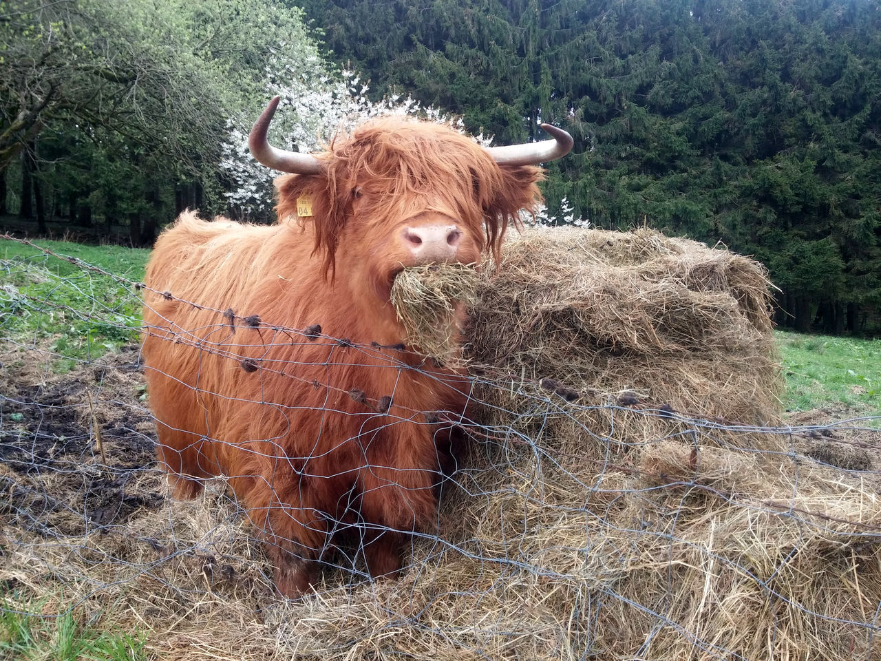 Animal Themes Cattle Cow Day Domestic Animals Domestic Cattle Field Grass Highland Cattle Highland Cattle Kyloe Livestock Mammal Nature No People Outdoors Schottisches Hochlandrind Tree
