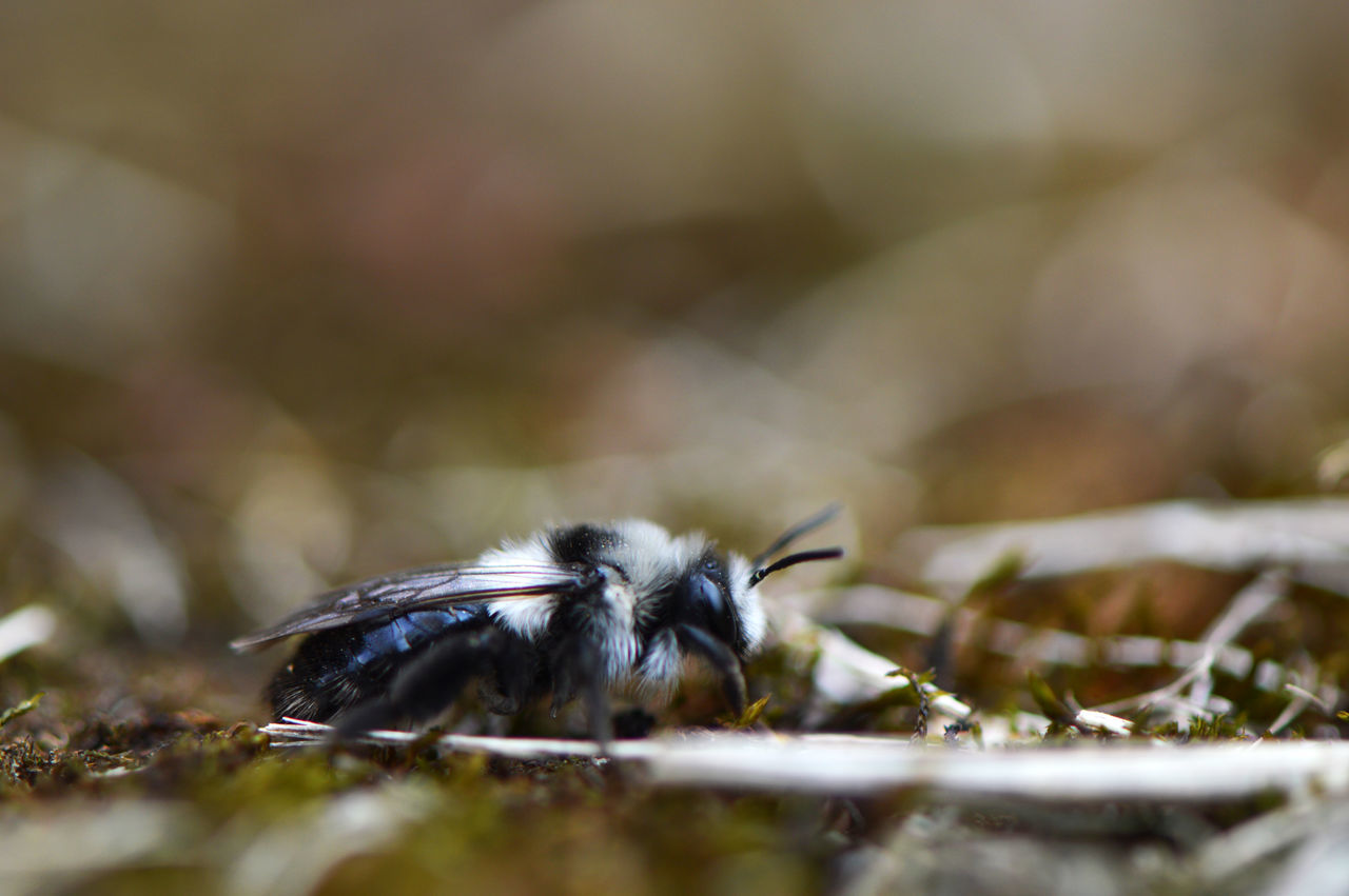 Grey mining bee... One Animal Animal Wildlife Animals In The Wild Selective Focus Animal Themes Insect No People Close-up Day Outdoors Nature Bee Wild Bee Mining Bee Wildbee Detail Macro Fragility Low Angle View Spring Beauty Special Colorful Macro Insects Intricacy