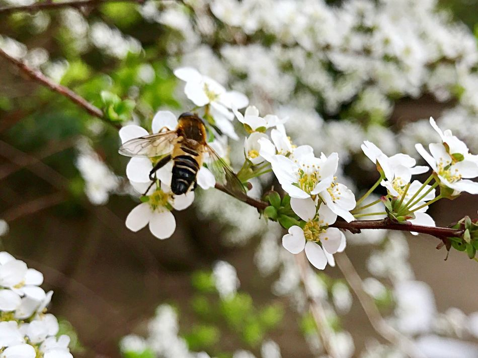 ユキヤナギにお客様 From My Point Of View Beauty In Nature Flower Insect White Color Springtime Honey Bee Outdoors Iphonephotography April 2017 Fukuoka,Japan