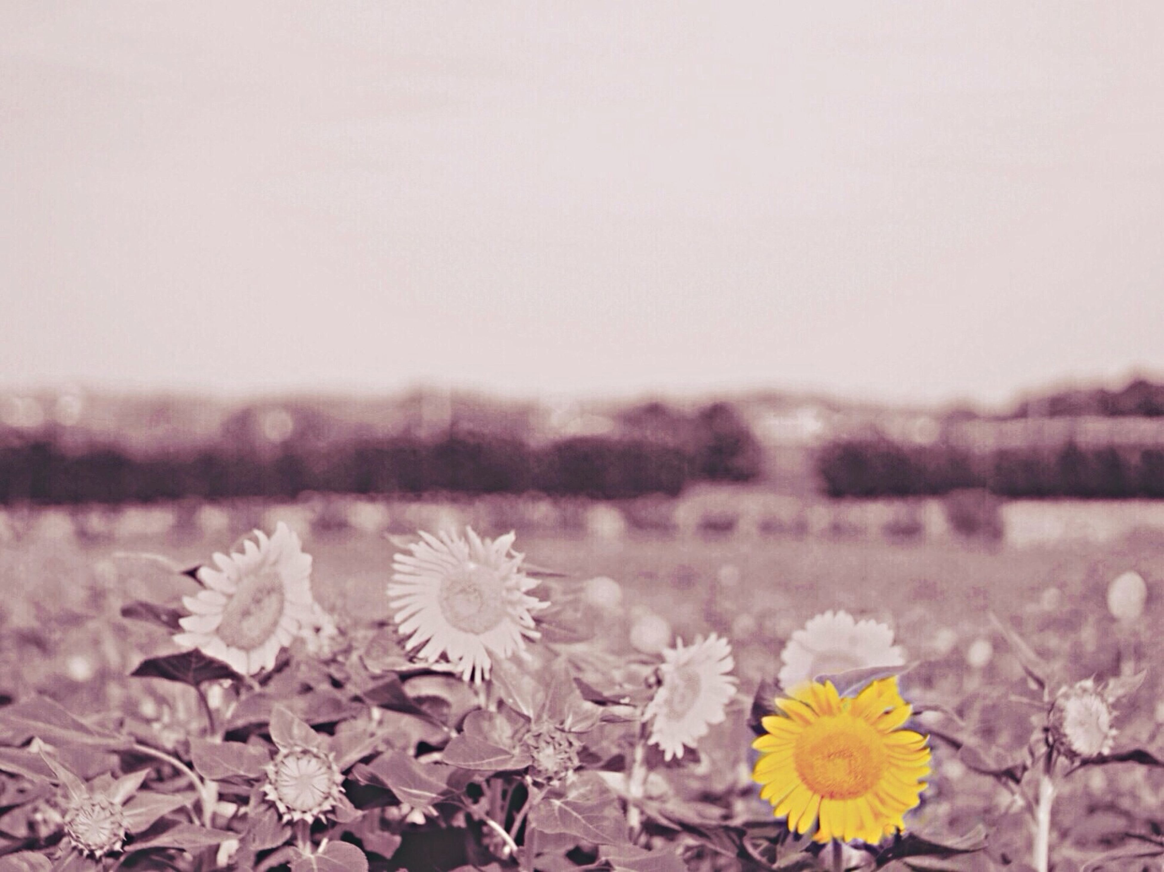 flower, clear sky, beauty in nature, nature, fragility, focus on foreground, tranquility, copy space, plant, growth, yellow, tranquil scene, field, freshness, petal, season, close-up, outdoors, day, no people
