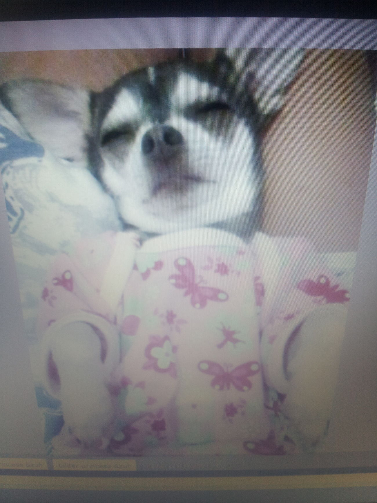 Chihuahua Glücklich :)