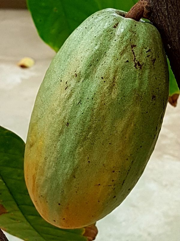 Cacau Cacao FruitTree No People Beauty In Nature