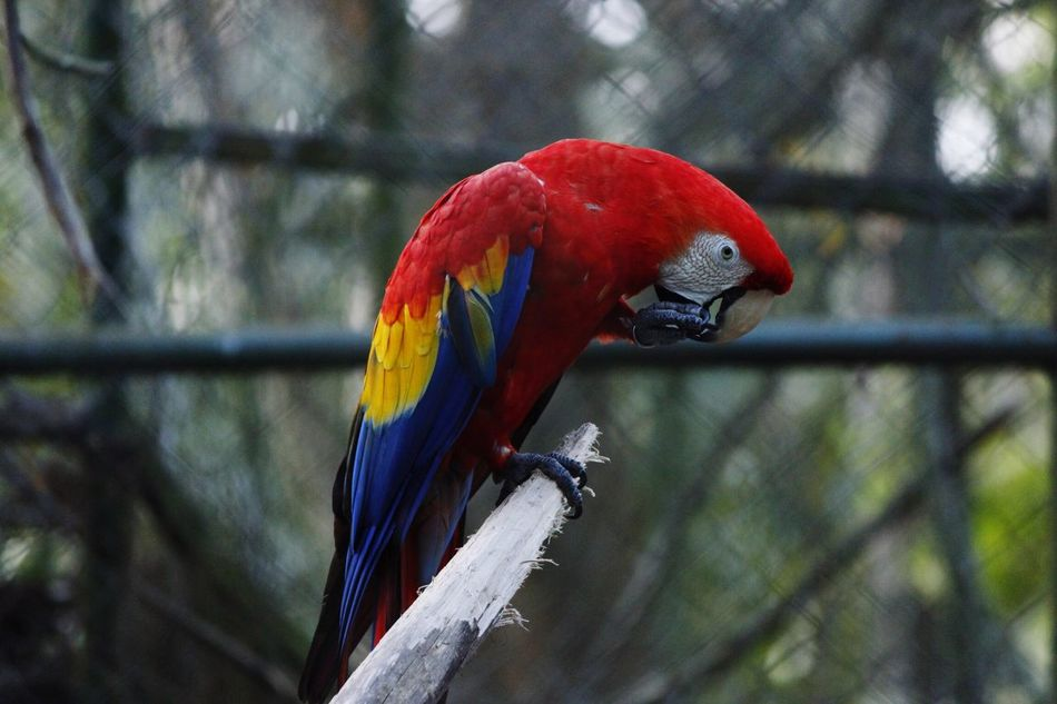 Honduras guacamaya roja Animal Themes Macaw Animals In The Wild Travel Photography EyeEmNewHere Red Scarlet Macaw Animal Wildlife Parrot Focus On Foreground One Animal Perching No People Nature Close-up Day Beauty In Nature Outdoors
