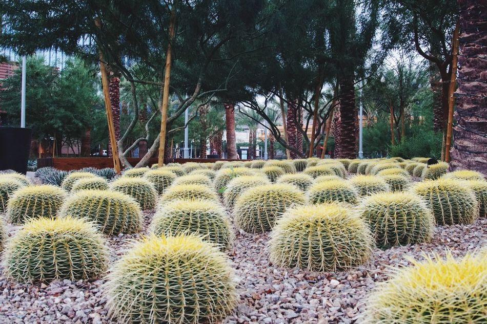 Pixxzo Cactus Cactusporn Taking Photos Sigma Sony A6000 Landscaping