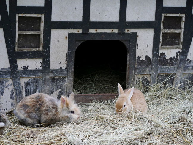 Rabbits Rabbit Animals Architecture Half-timbered Half-timbered House Hut No People Outdoors Timbered House Pets Taking Photos Lovely From My Point Of View Animal Themes Two Is Better Than One Non-urban Scene Pets Corner