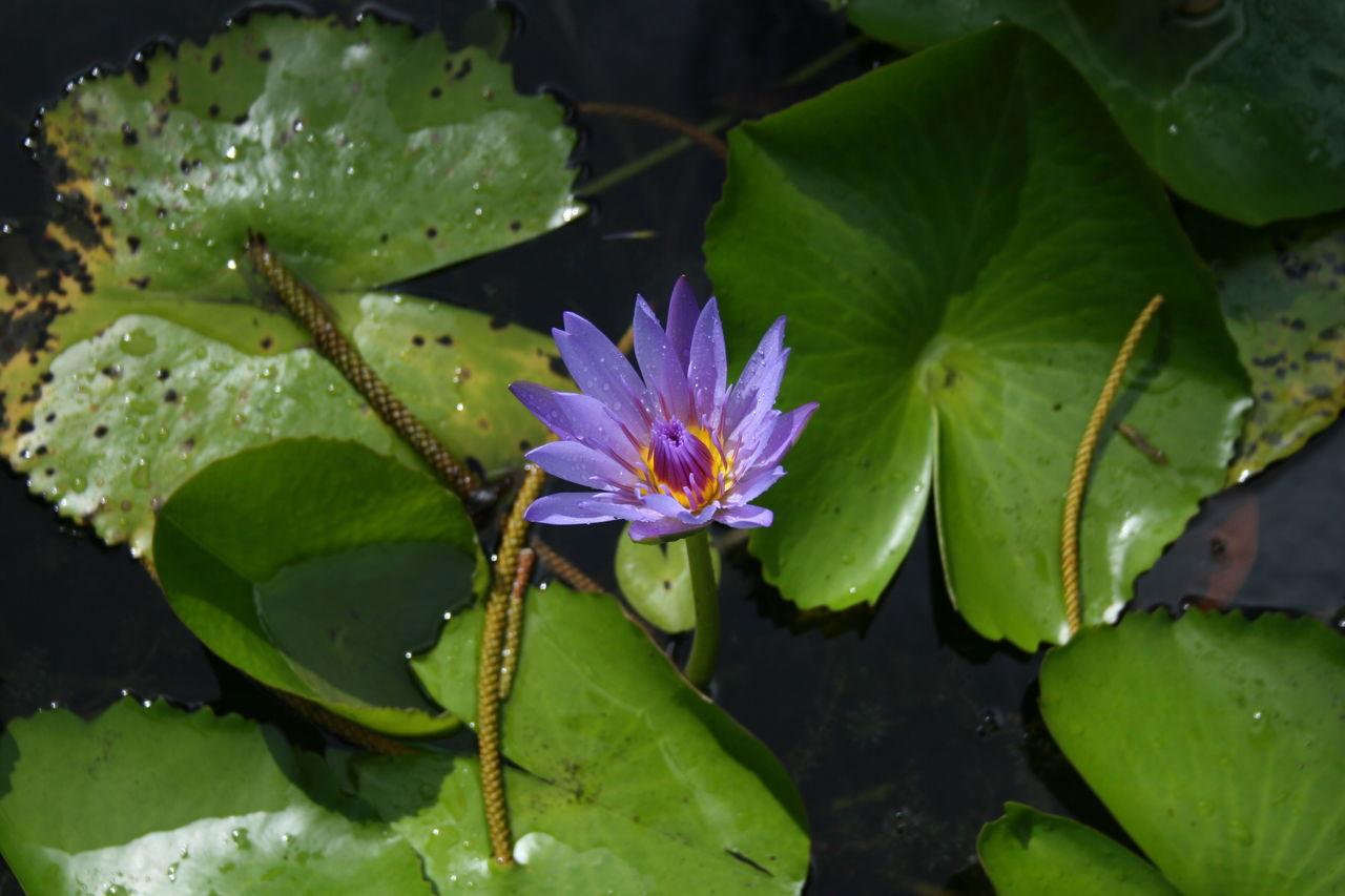 Beauty In Nature Floating On Water Flower Flower Head Freshness Leaf Purple Flower Water Water Lily