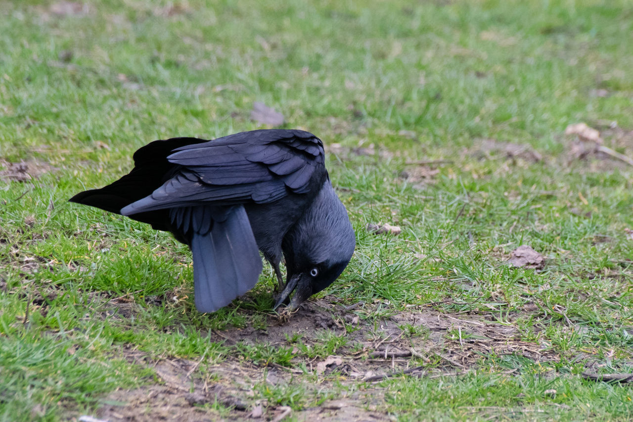 bird, grass, animal themes, one animal, animals in the wild, crow, field, nature, animal wildlife, raven - bird, no people, perching, outdoors, day