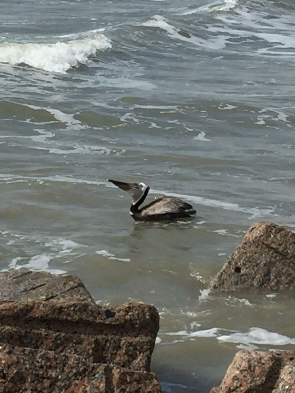 Bird Animals In The Wild One Animal Water Beauty In Nature Outdoors No People Ocean Photography. Pelican just swallowed a 🐟 fish! Love EyeEm photos 🐟🎣🐚