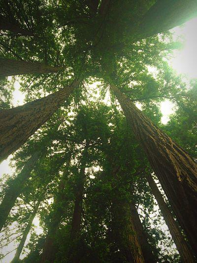 Muir Woods Redwoods Nature