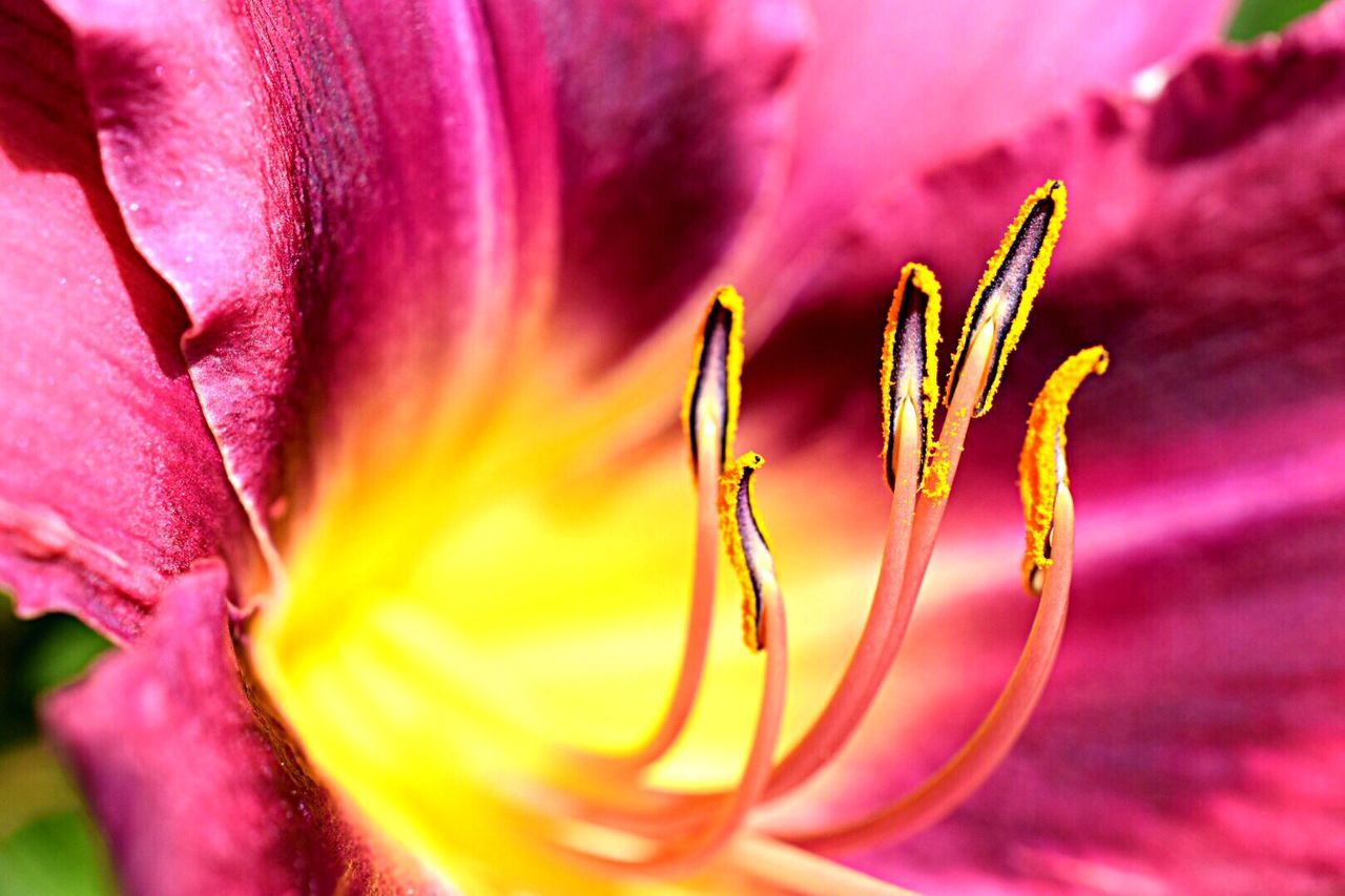 Purple/yellow people eater - Pollen caught my eye, the flower made it interesting. Flower Beauty In Nature Fragility Petal Nature Growth Freshness Close-up Flower Head No People Backgrounds Stamen Blooming Plant Outdoors Day Day Lily